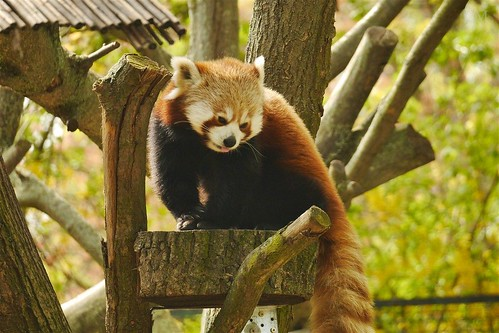 Magdeburg has Red Pandas now! :)