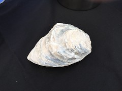 fossilized oyster extracted from calcareous soil