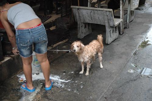 洗ってもらう犬