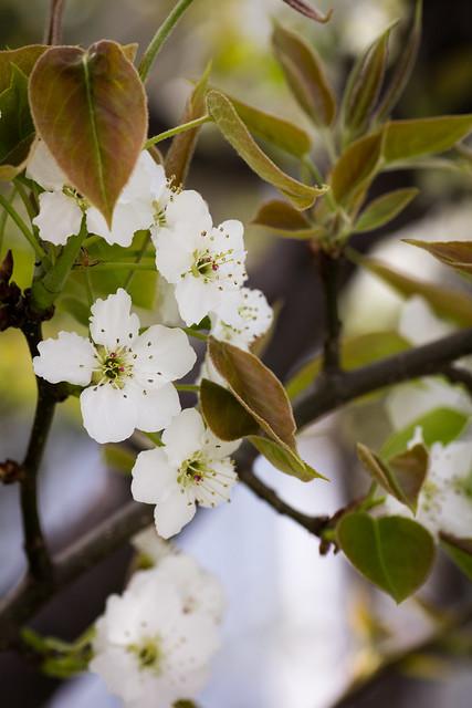 Photo:Apple Flower (O-okayama, Tokyo, Japan) By t-mizo