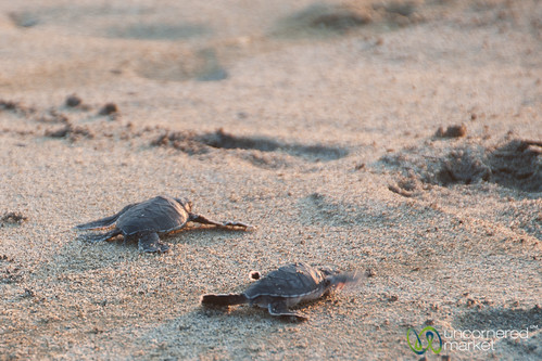 Baby Sea Turtles, Mexico
