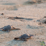 Baby Sea Turtles - Playa La Ventanilla, Mexico