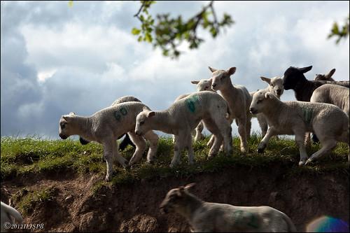 Spring Lambs_MG_9632