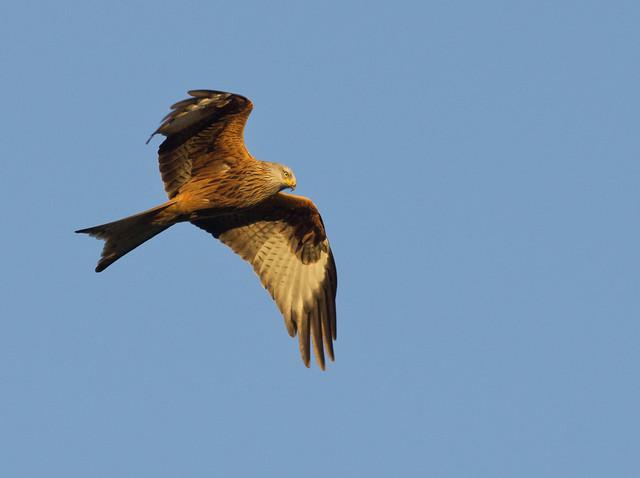red kite 16