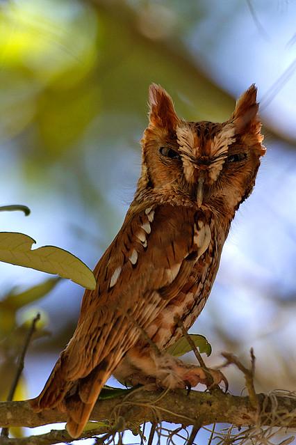 Screech-Owl-Steves
