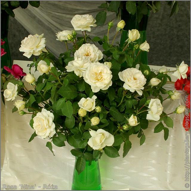 Rosa 'Nina' - Róża