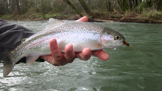 mckenzie river trout