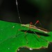 Small photo of Broad-headed Bug (Stenocoris sp.) (Alydidae)