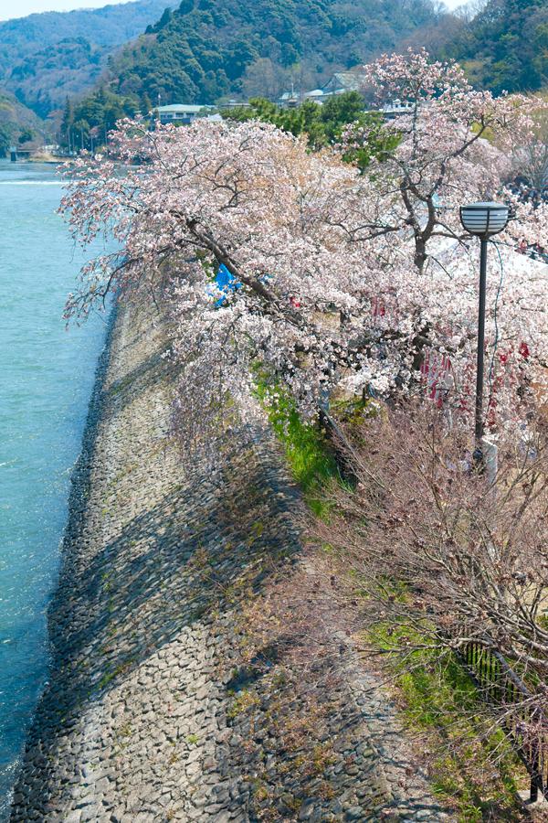 宇治川と桜