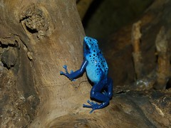Dyeing Dart Frog (Dendrobates tinctorius) ''azureus'' morph
