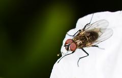 [フリー画像素材] 動物 2, 昆虫, 蝿・ハエ ID:201205050400