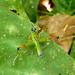 Fun colourful bug :). Puerto Viejo, Costa Rica 28APR12
