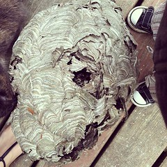 Holy huge wasp's nest.