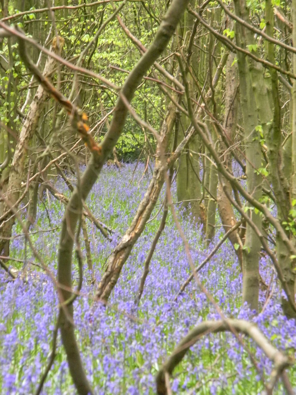 Bluebells Wendover Circular via Lee A small wood, just after lunch, provided the best display of the day