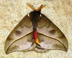 Saturniid Moths of Ecuador