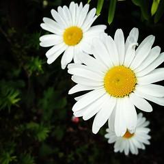 gerbera(0.0), annual plant(1.0), flower(1.0), yellow(1.0), marguerite daisy(1.0), chamaemelum nobile(1.0), daisy(1.0), macro photography(1.0), wildflower(1.0), flora(1.0), oxeye daisy(1.0), chrysanths(1.0), daisy(1.0), petal(1.0),
