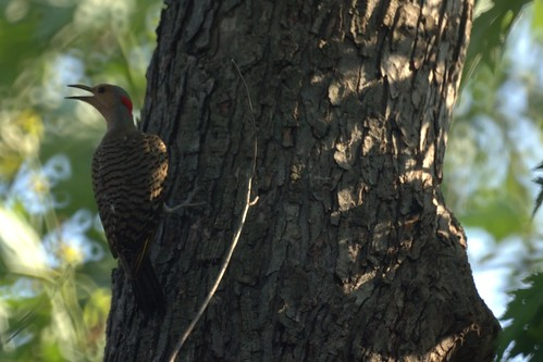 Female Flicker guarding the nest