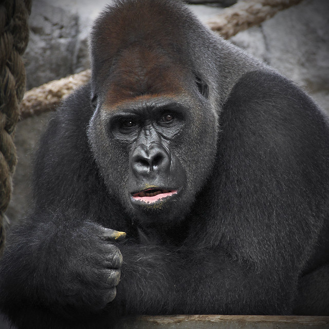 Angry Silverback Gorillas Gorilla - a gallery on...