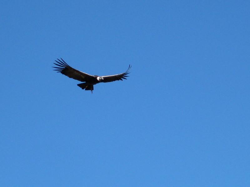 Andean Condor at Cruz del Condor - Peru