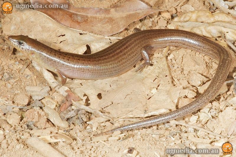 Black-tailed bar-lipped skink (Glaphyromorphus nigricaudus)