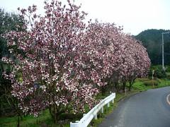 Mulan magnolia (モクレン)