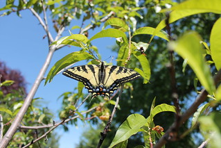Western Tiger Swallowtail (Pterourus rutulus) on peach tree