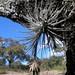 Aerófitas con semilla -  aerophytes with fruit; área por Río Blanca al noroeste de Santo Domingo Yanhuitlán, Región Mixteca, Oaxaca, Mexico por Lon&Queta
