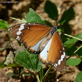 African monarch (Danaus chrysippus)