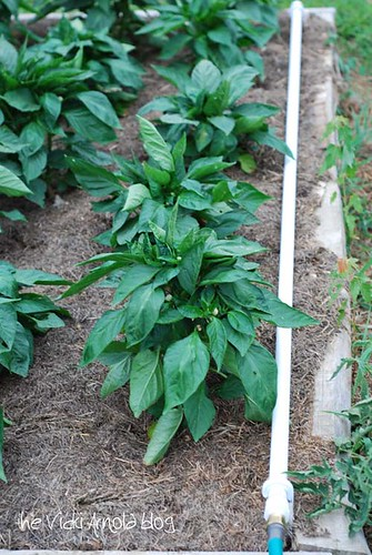 Bell Pepper Plants