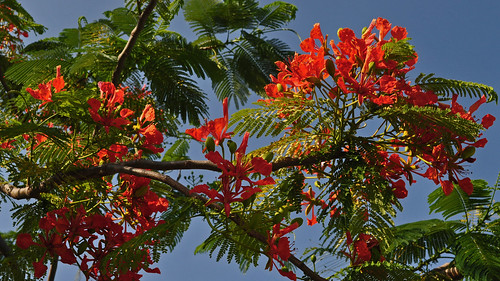 Delonix regia - Royal Poinciana (3)