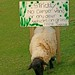 Small Opinionated Sheep by RoystonVasey