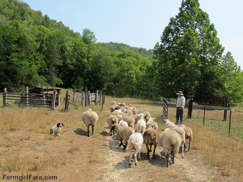 (18-3) Beagle Bert, junior stock dog helping out on Sheep Working Sunday - FarmgirlFare.com