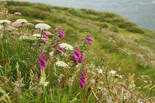 Wildflowers at Tintagel