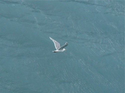 Lone Glaucous-winged Gull - Glacier Bay