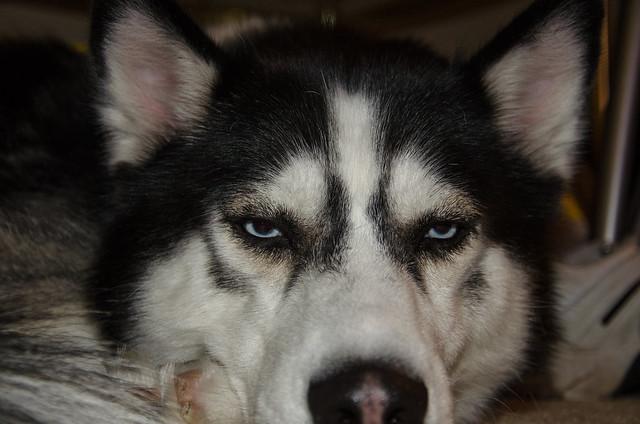 Annoyed Husky