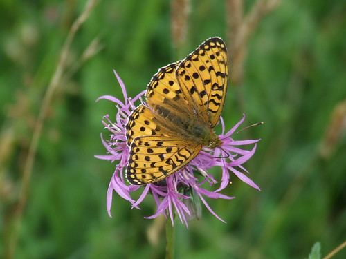 Dark Green Fritillary butterfly by Linda Yarrow
