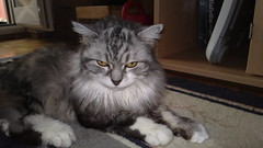 domestic long-haired cat, animal, maine coon, british semi-longhair, small to medium-sized cats, pet, siberian, cat, carnivoran, whiskers, norwegian forest cat,