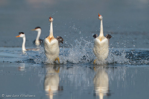 "Clark's Grebes ""Rushing"""