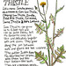 Perennial Sow Thistle: Sanchus arvensis by EricaStLeonards