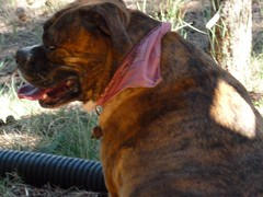 dogue de bordeaux(0.0), tosa(0.0), dog breed(1.0), animal(1.0), dog(1.0), pet(1.0), mammal(1.0), guard dog(1.0), boxer(1.0),