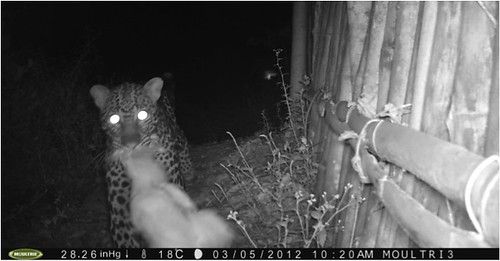 Leopard  with the evidence between his jaws