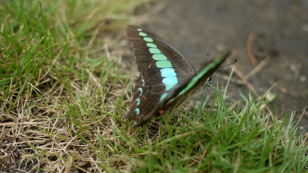 Confucian Butterfly