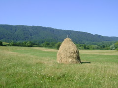 fânul de curând cosit/the soon hay mowing