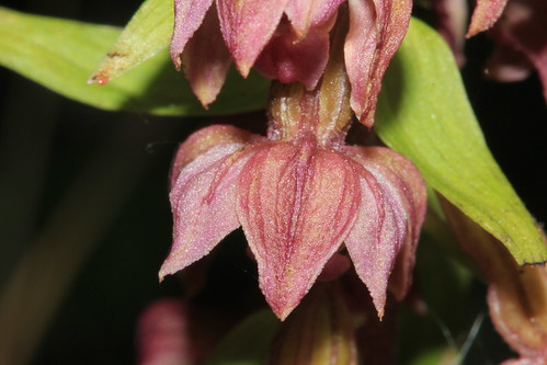 Broad Leaved Helleborine 10286