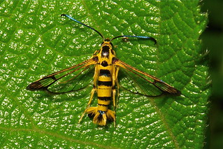 Clearwing Moth (Synanthedon sp., Sesiidae)