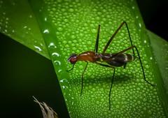 Orange Stilt-legged Fly
