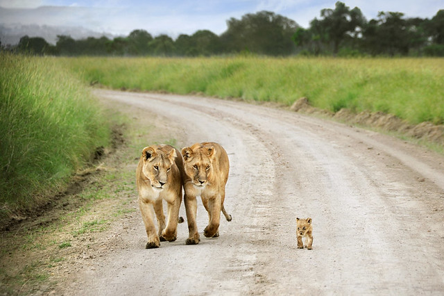 Tiny Lion Cub - The Cat Family Inspiring Photography