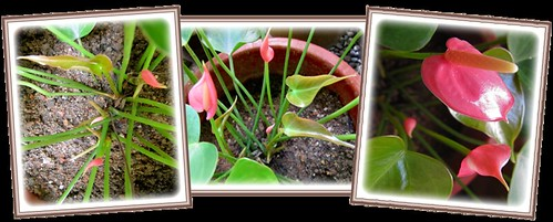 Anthurium andraeanum, a Dwarf Pink variety: leaves and flower buds unfolding beautifully