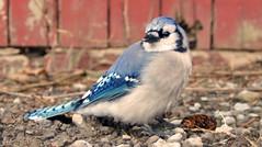sparrow(0.0), wildlife(0.0), animal(1.0), wing(1.0), fauna(1.0), finch(1.0), blue jay(1.0), emberizidae(1.0), beak(1.0), bird(1.0),