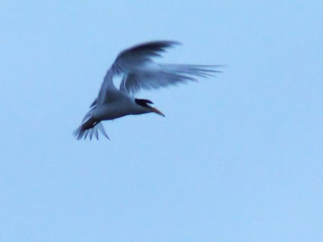 Least Tern hovering 2-20140416